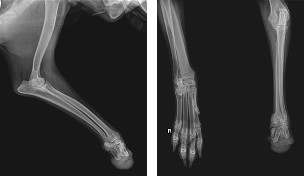 orthopets-casey-xrays-0218.png